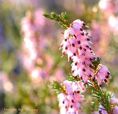 Pretty in Pink (Tracey Tilson Photography) Tags: pink plant flower nature closeup 50mm nc spring nikon pretty bokeh north sunny tuesday carolina gigi blooms february lowes 2009 picnik d90