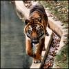 give me one reason to stay here (mlsjs) Tags: animal walking mammal zoo washingtondc stripes tiger nationalzoo photofaceoffwinner photofaceoffgold pfogold thechallengefactory
