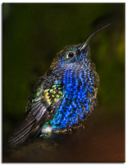 """Baby Hummingbird"" (Alfredo11) Tags: blue naturaleza motion black verde green bird texture nature colors azul composition speed fly wings costarica colours hummingbird little action background flash negro flight beak feather colores movimiento ave pico alas alfredo pluma pajaro capture tones rapido fondo texturas aereo airy treatment vuelo colibri tratamiento plumage composicion captura accion chiquito vivaz picaflor tonos plumaje rapidez anawesomeshot ultimateshot bejiaflor"