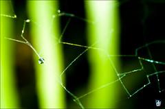 CAUGHT (DFUENTEALBA.com) Tags: macro green net water 50mm spider nikon eau drop vert mina carbon gota reversed f18 invertido araigne lota s8 br3 invers br2a session8 chiflondeldiablo parquedelota s8lota