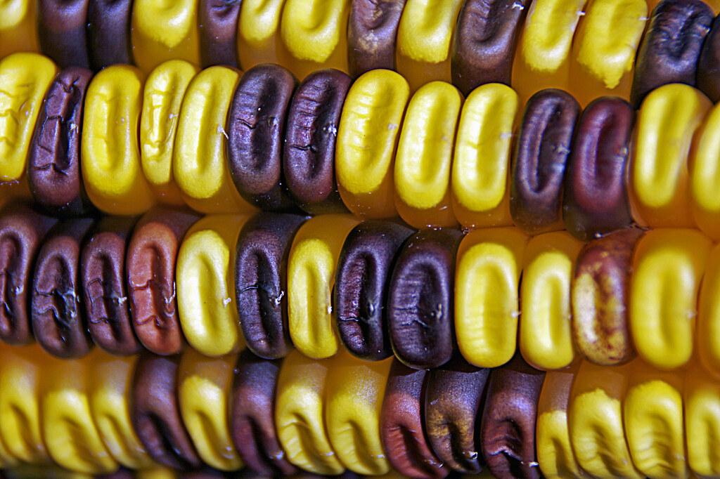 Sweet Corn - Milho