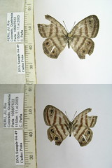 Euptychia spn5
