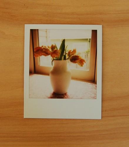 tulip pola