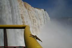 Butterfly at Iguassu Falls