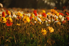 poppies (totomai) Tags: flowers orange yellow japan backlight spring bokeh seeds poppies blogged tachikawa bigmomma challengeyouwinner nikond80