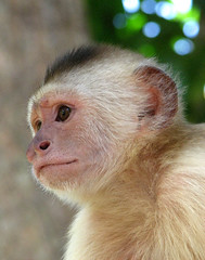 Capuchin Monkey - Laberinto Tropical (Tropical Labyrinth) Wildlife Sanctuary - Margarita Island, Venezuela, South America (paulmichaels79uf) Tags: animal canon garden botanical island monkey is wildlife hedge tropical maze margarita s3 labyrinth isla sanctuary capuchin laberinto