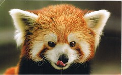 "CN: Private Swap ""Red Panda"" From hyacinth  (-sevvie-) Tags: china postcard card redpanda  hyacinth privateswap"