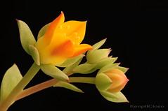 A tiny succulent flower.....Explore (graftedno1) Tags: flowers succulent nikon bravo d300 180mm naturesfinest elitephotography abovealltherest vosplusbellesphotos keepitclose cffaa