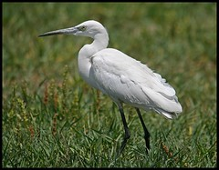 Little Egret (Egretta garzetta) spotted in Sultanpur Bird Sanctuary, India (Saran Vaid) Tags: wild india white bird nature water beautiful beauty birds fauna bill wings asia searchthebest little bokeh wildlife indian birding wing beak feathers reserve sigma waterbird aves best safari exotic national tropical elegant common habitat egret soe sanctuary spotting snowyegret birdsanctuary sighting haryana littleegret egrettagarzetta egretta sultanpur garzetta flickrsbest bej mywinners abigfave canoneos400d sultanpurbirdsanctuary platinumphoto avianexcellence flickrdiamond theunforgettablepictures smallwhiteheron rubyphotographer abovealltherest sigma150500 vosplusbellesphotos thewonderfulworldofbirds sigma150500mmf563dgoshsm flickraward