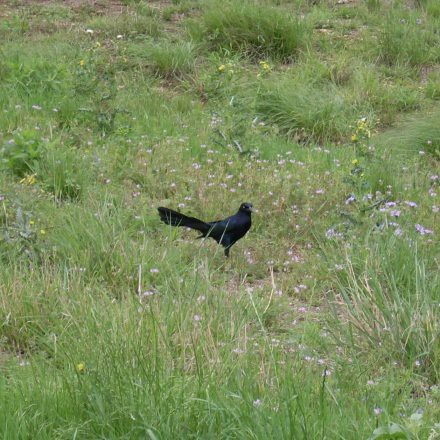 Great Tailed Grackle, Arbor Hills in Spring