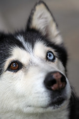 David Bowie Dog! (aLexDoULoU) Tags: winter dog cold color cute eye love dogs beautiful hair puppy nose interestin
