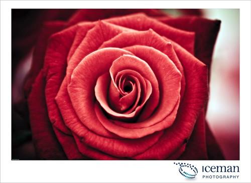 Roses 001