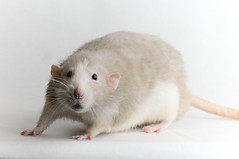 Bob (KristyR929) Tags: pet rat dumbo bob fancy