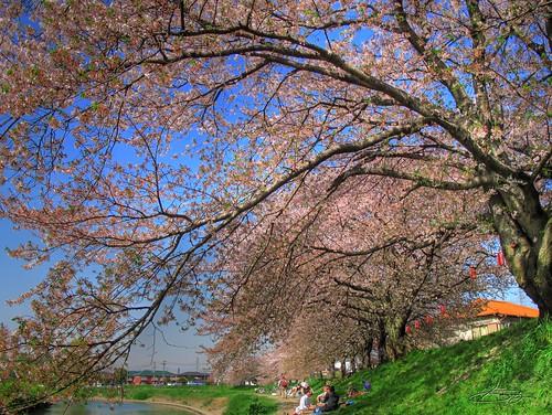 桜 & HDR & G10