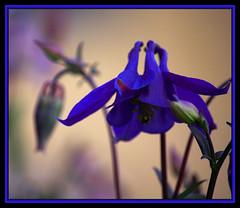 Aquilegia vulgaris (scrumsrus) Tags: flower floral garden scotland stem aberdeenshire style petal stamen banff pollen stigma tistheseason anther flowerparts sepal scrumsrus andystuart
