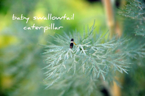 swallowtail caterpillar on the dill
