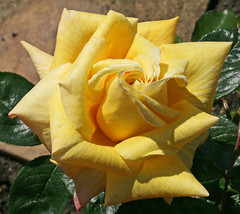Yellow Beauty (veneravass) Tags: flowers roses flower beautiful rose garden fabulous otw excellentsflowers flowermania mimamorflowers