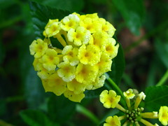 """IMG_7672 (Claire DeLand ~ """"GA Music Maker"""") Tags: flowers dewdrops lantana earlymorninglight g9 butterflybait carnesvillega flowerswithdewdrops"""
