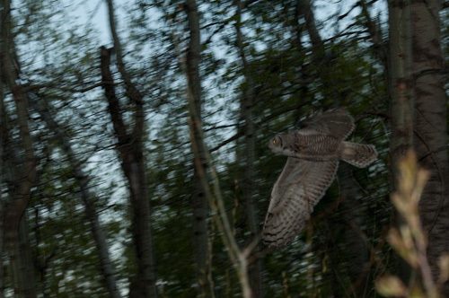 great_Horned_Owl-20090523-2