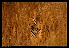 Waiting patiently - Tiger (M V Shreeram) Tags: sunset india nature grass nationalpark wildlife tiger safari bengaltiger madhyaprad