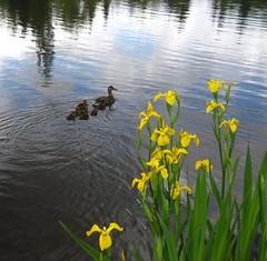 365/302 (Ukuthula) Tags: iris duck duckling 365 comolake