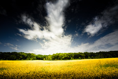 Golden Moment (Loren Zemlicka) Tags: flowers blue trees light summer sky green field yellow wisconsin clouds rural canon landscape photography gold photo midwest image space horizon country picture land 5d canonef1740mmf4lusm wisconsindells expanse fieldofgold canoneos5d flickrexplore flickrfrontpage lorenzemlicka