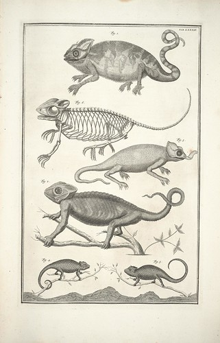 Albertus Seba's cabinet - chameleon engravings