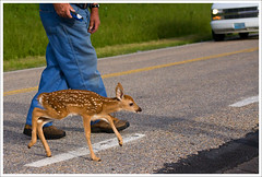 A Terrified Little Fawn - Shenandoah National Park ([Christine]) Tags: deer fawn shenandoah whitetail skylinedrive shenandoahnationalpark snp