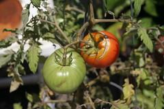 Tomatoes_0860