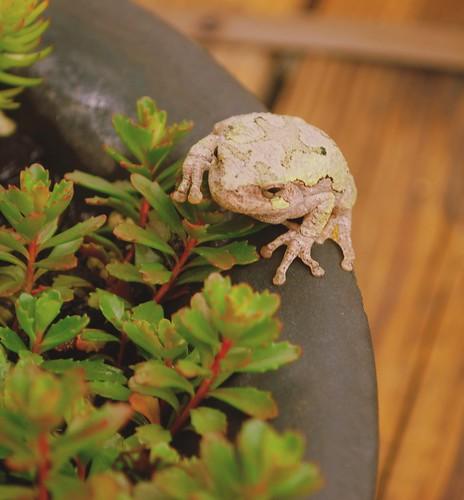 Frog bowl 2