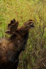 Mmmm leaves (David Kingham) Tags: leaves nikon colorado wildlife branches fortcollins moose antlers rmnp twigs d90