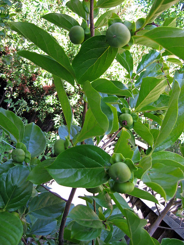 Garden- Persimmons growing