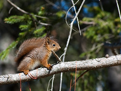 Baby Squirrel (Kim Ledin) Tags: baby tree cute forest climb squirrel branch sweden awesome tail young tiny sverige ekorre eskilstuna cling babysquirrel naaaw