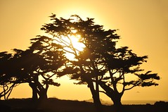 Sunset through the trees at Pacific Grove (Images by John 'K') Tags: trees sunset sky sun set monterey gull explore pacificocean setting cypresstrees johnk pacificsunset explored d5000 johnkrzesinski randomok
