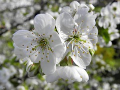 Blooming cherry (September Songs) Tags: flowers macro spring cherryblossom kwiaty wiosna kwiatwini