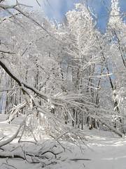 CZ, TC, Vl hora, posledn sek cesty na vrchol, zasnenm lesem (Radek (7)) Tags: les zima bl svit snh slunen nspp vtve pohdka vlhora vtvov vtviky