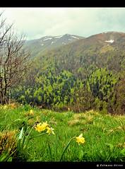 vue sur le rainkopf (oliv67) Tags: green nature fleurs vert alsace printemps paysages vosges montagnes 68 jonquilles hautrhin crtes francelandscapes kastelberg nvs rainkopf