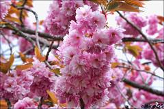 Blossom (Elaine 55.) Tags: park liverpool sefton