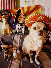 being mexican is not a crime (version 2) (EllenJo) Tags: arizona pets chihuahua silly dogs funny az mexican chihuahuas sombrero floyd picnik digitalimage cheapdigitalcamera immigrationpolicy mexicandog arizonaflag ellenjo editedwithpicnik ellenjoroberts sb1070 may212010 heyeverybodylightenup