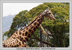 Giraffe at Mysore Zoo (drkrishi) Tags: india zoo asia giraffe karnataka mysore mammalia giraffa giraffacamelopardalis chordata artiodactyla mysorezoo giraffidae srichamarajendrazoologicalgardens drkrishi drkrishicom