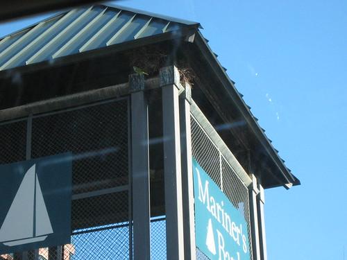 Quaker Monk parrots of Edgewater, NJ
