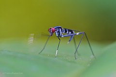 Micropezidae (Primeval Nature) Tags: southamerica nature insect fly ecuador wildlife insects flies jag cloudforest behavior diptera redeyes behaviour insecta mindo pichincha neotropical stiltleggedfly micropezidae