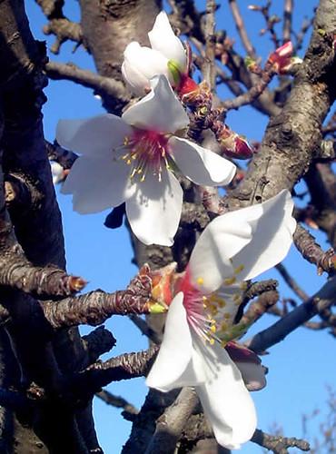 flores del almendro