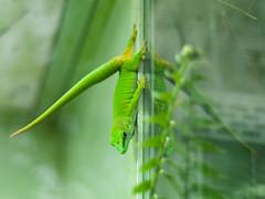 madagascar day gecko (dingobear) Tags: lund green sweden reptile gecko f28 madagascardaygecko stickyfeet omzuiko50mmf18lens