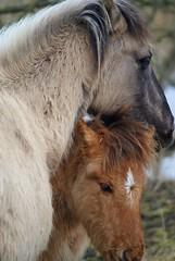 (Astrid van Wesenbeeck photography) Tags: nature landscapes wildlife wildhorses oostvaardersplassen konikhorses koniks konikpaarden wildepaarden