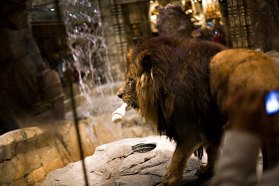 Of course the MGM Grand would have a real lion. Why not, it is Vegas!