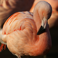 Pink Flamingo - Woodland Park Zoo Impressions - Seattle (anadelmann) Tags: seattle pink usa bird animal animals mammal zoo washington wolf minolta tiger flamingo f100 kangaroo 7d zebra wa konica pinkflamingo dynax elk graywolf woodlandparkzoo mountaingoat maxxum woodlandpark konicaminolta naturesfinest v1000 rooseveltelk sigma70200 konicaminoltadynax7d konicaminoltamaxxum7d mywinners flickrdiamond africansavannaexhibit temperateforestexhibit australasiaexhibit vosplusbellesphotos bestnationalexhibitaward immersionexhibit naturalisticzooenvironment northerntrailexhibit anadelmann