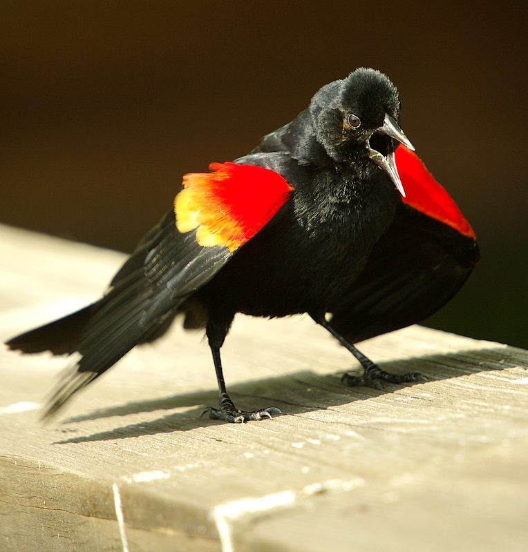 Red Wingd Blackbird displaying