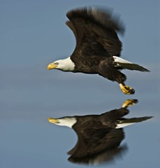 Eagle Eye (topgolfu) Tags: reflection bird nature eagle ngc naturesfinest supershot specanimal avianexcellence goldstaraward flickraward tripleniceshot flickraward5 mygearandme mygearandmepremium mygearandmebronze mygearandmesilver mygearandmegold mygearandmeplatinum mygearandmediamond flickrawardgallery