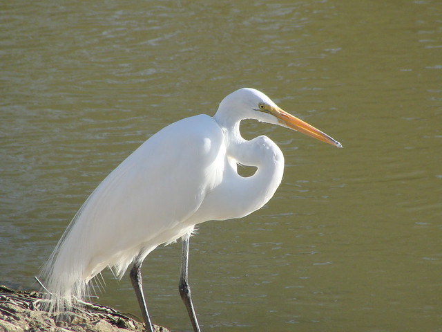 All About Birds Great Egret >> Gc340pe Birds Of A Feather Egrets Traditional Cache In Texas